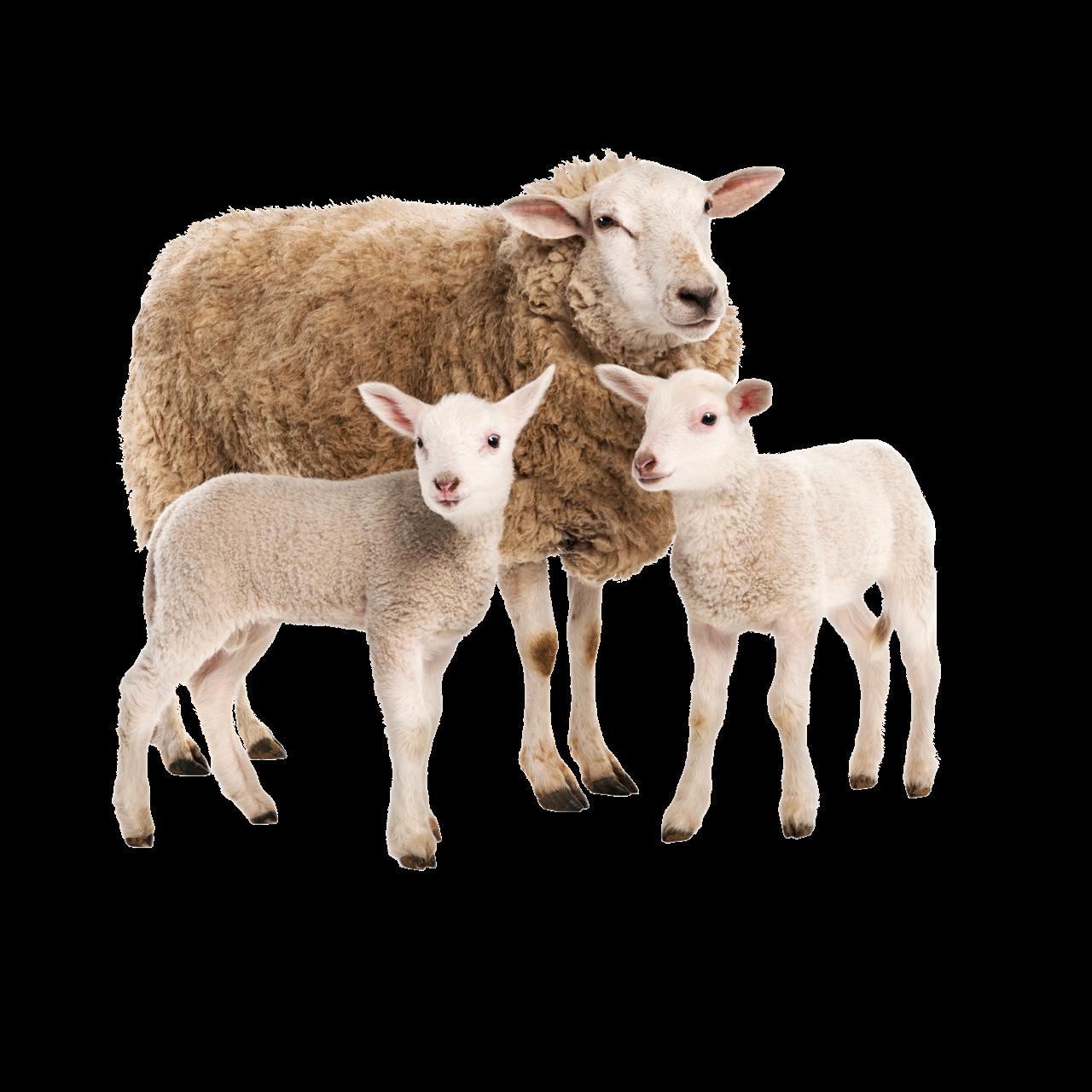 sheep-png-1280x1280_63d1a1ea